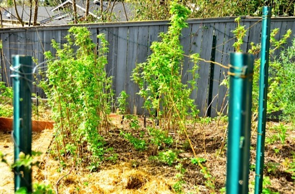 Raspberry rows in garden beds