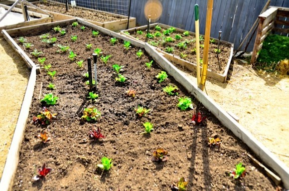 Growing Lettuce raised beds | Reluctant Entertainer