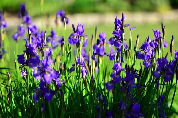 Happiness Irises