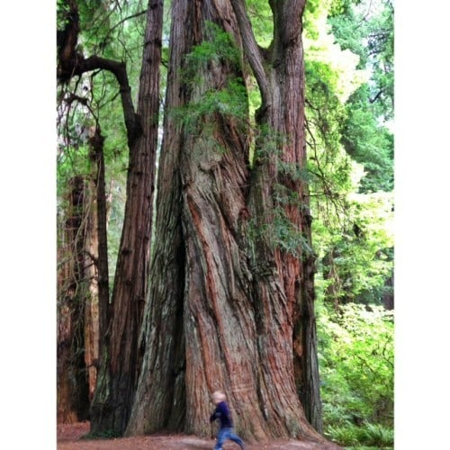 Redwoods in CA