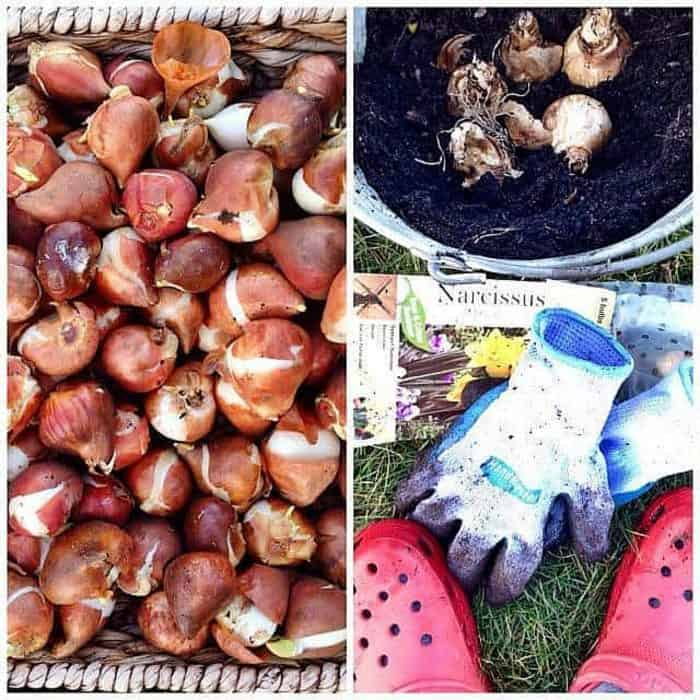 6 Tips Planting Bulbs Late in the Season