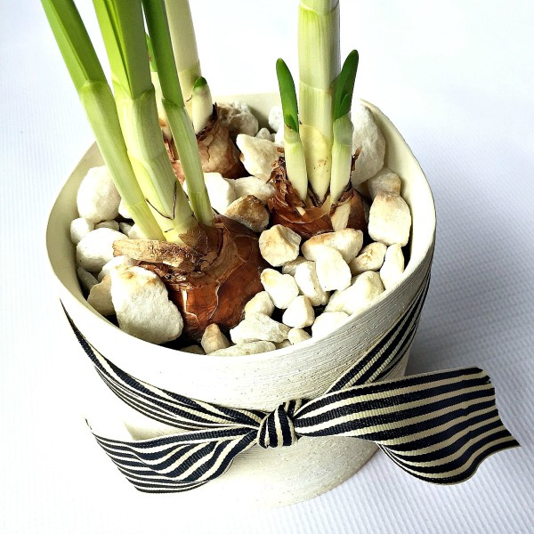 Growing Paperwhites