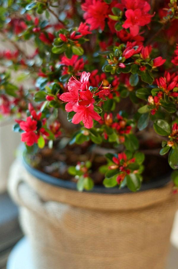 Enjoing an azalea plant indoors