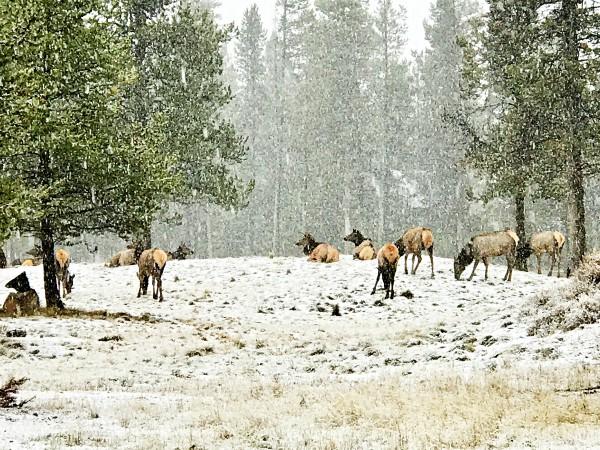 Elk at Sunriver, OREGON
