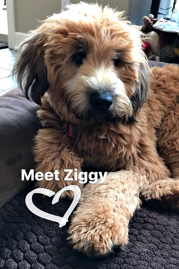 Ziggy the Whoodle