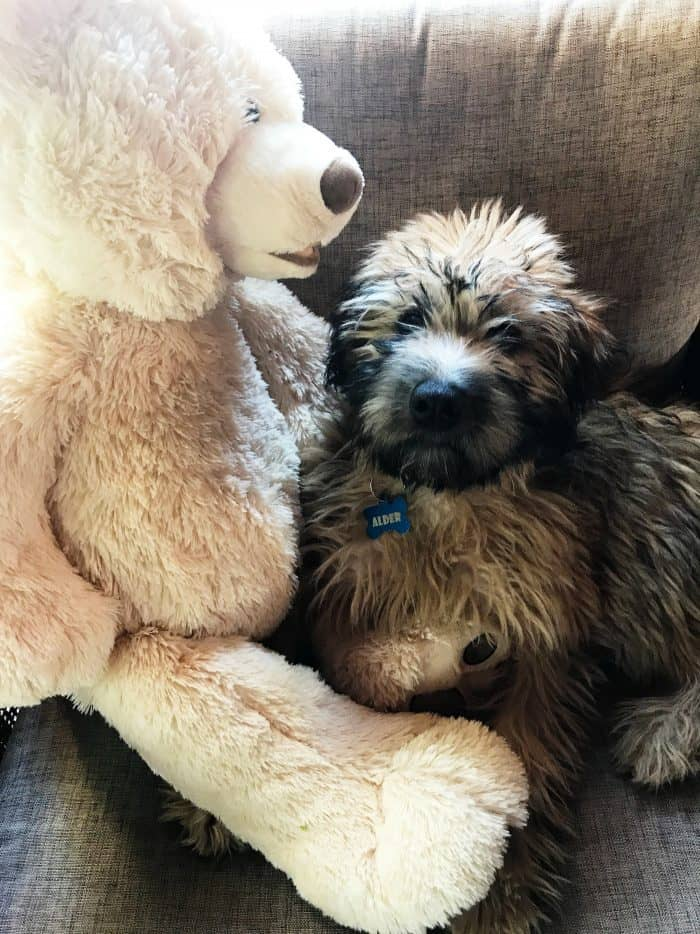 Why We Love our Whoodle Pup
