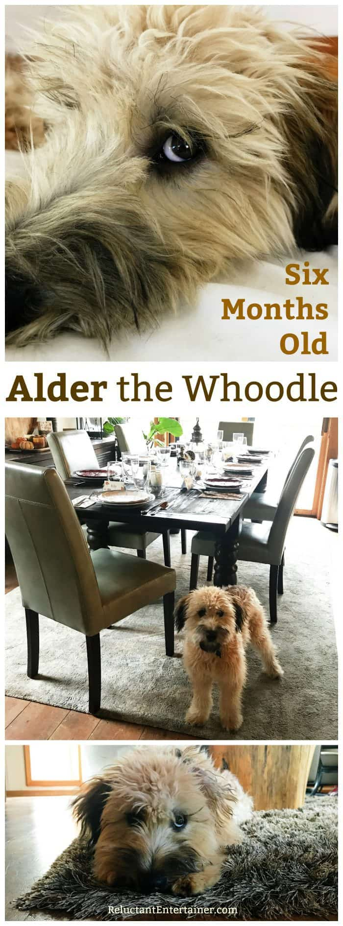 Alder the Whoodle: Six Months Old!