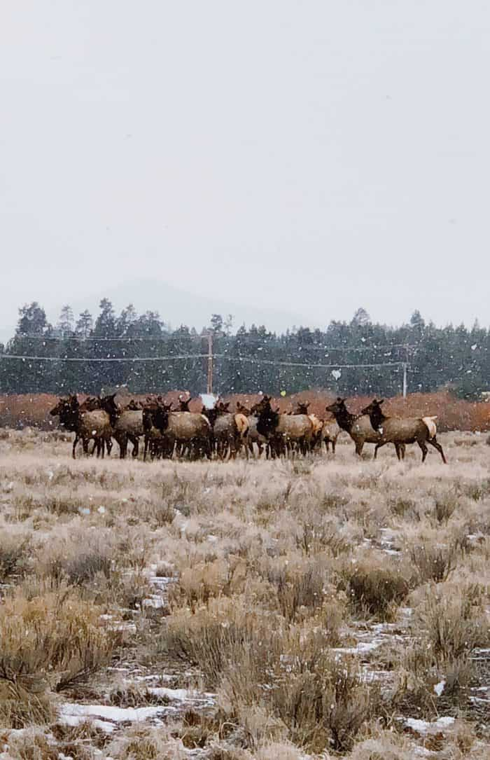 Elk in Sunriver, Oregon