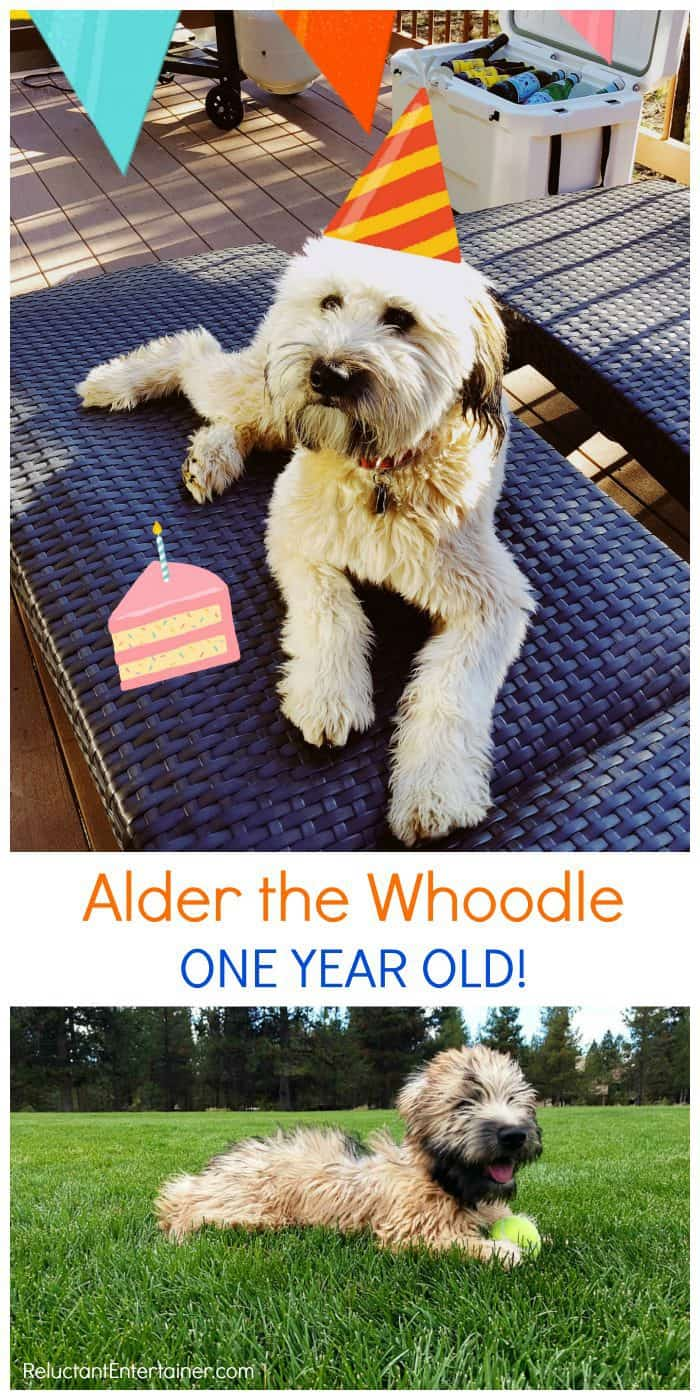 Alder the Whoodle: One year old!!