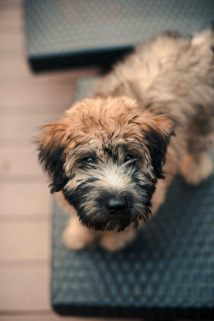 Whoodle puppy