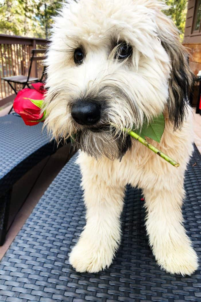 Alder the Whoodle Valentine's Day