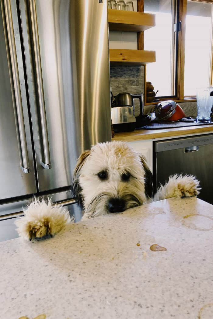 Whoodle puppy: kitchen counter
