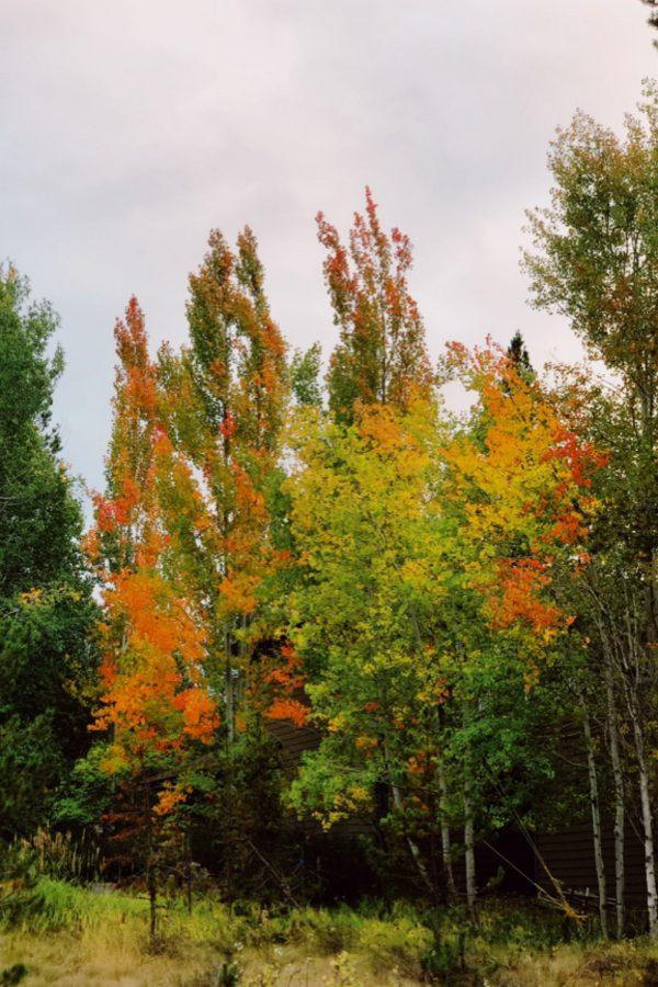 fall aspen tree colors