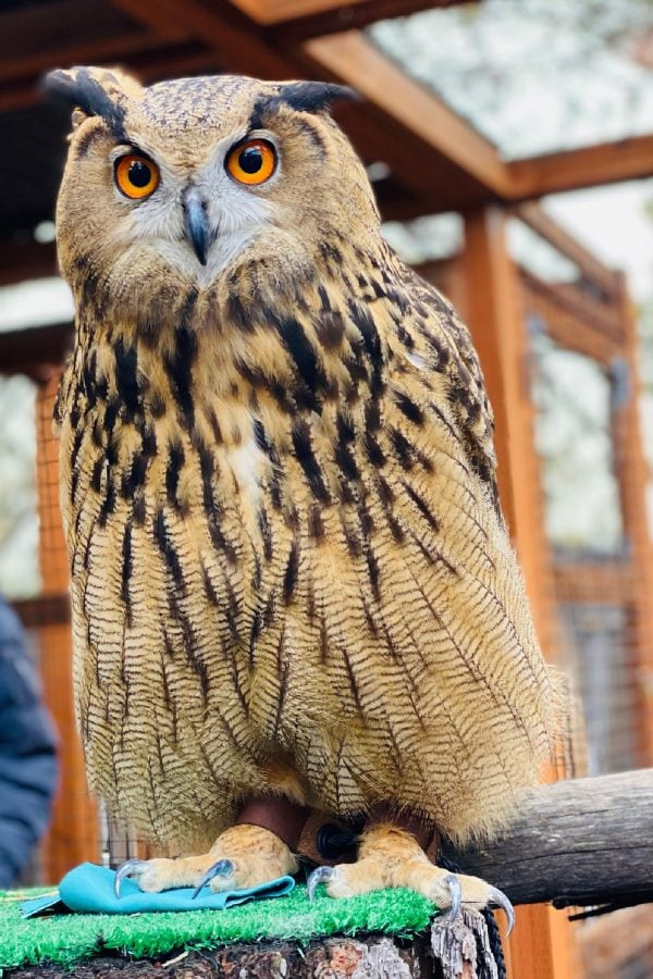 Luna the Eurasian Eagle-owl