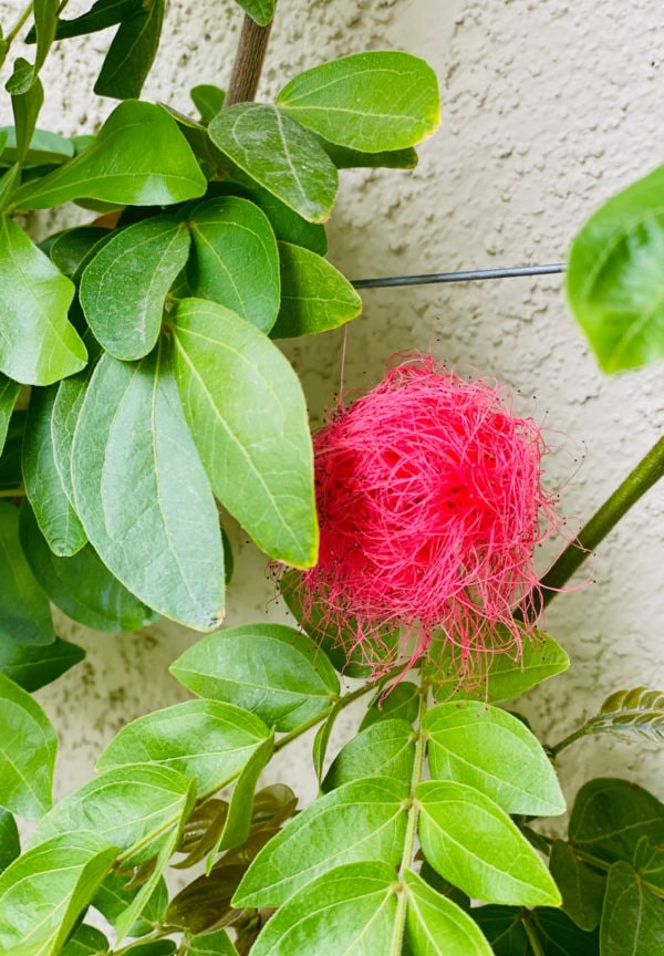pink poodle or calliandra