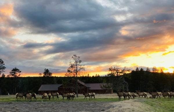 elk herd in sunriver, OR