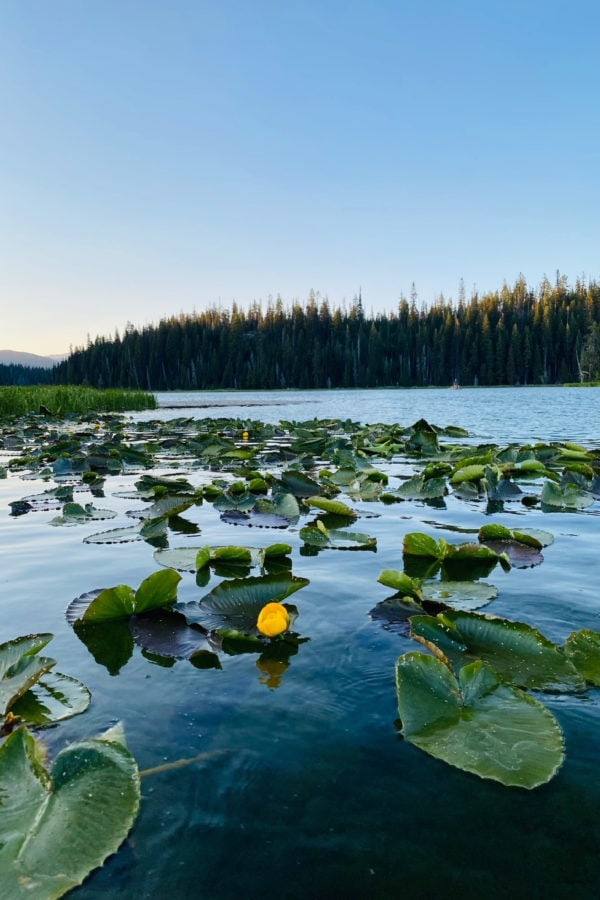 lily pads on hosmer lake