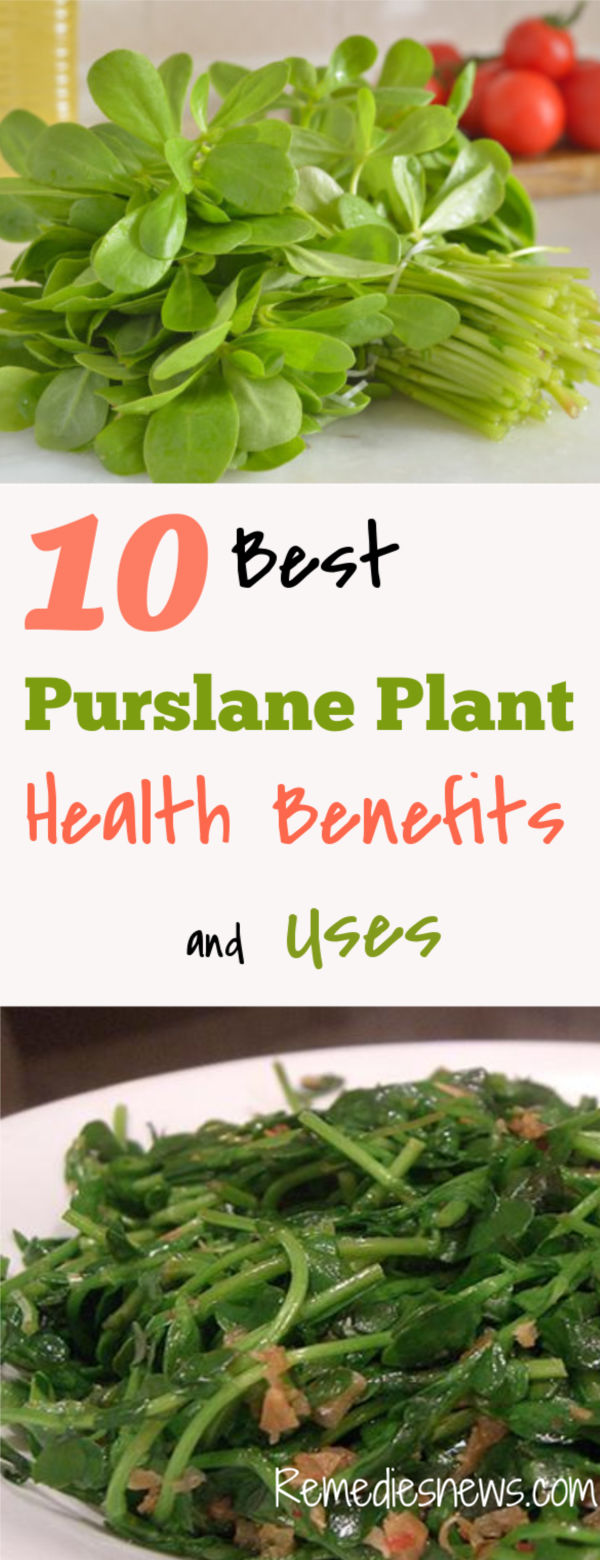 10 Best Purslane Plant Health Benefits, Uses, and Recipes