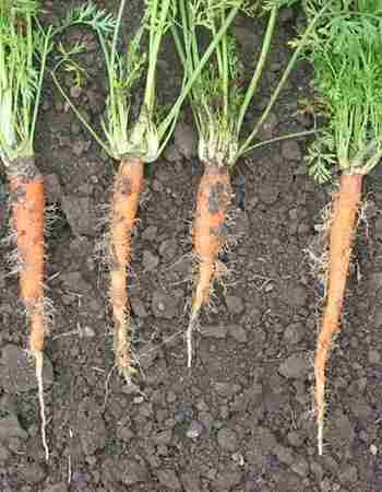PESTS AND DISEASES THAT AFFECT CARROTS
