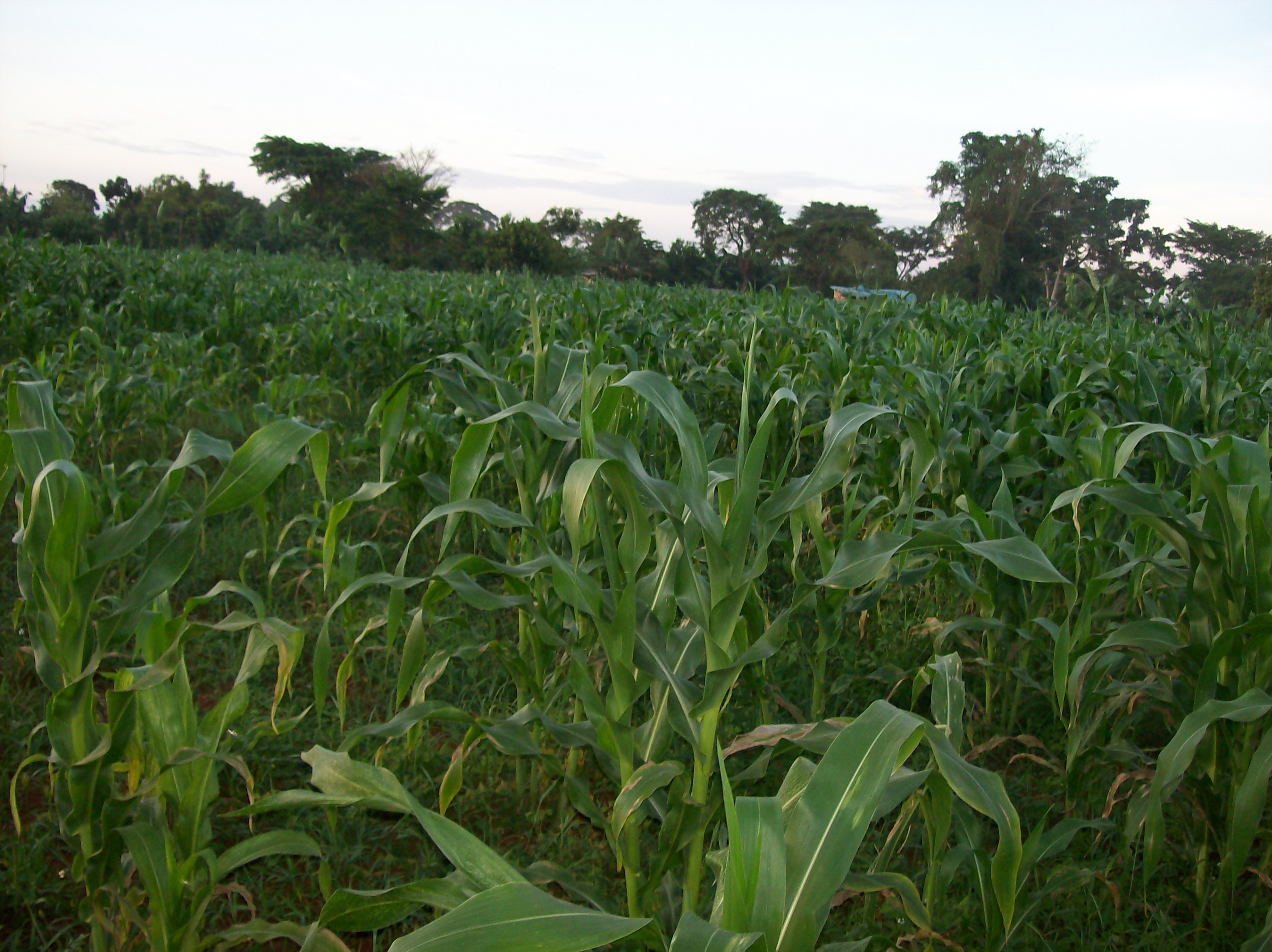 Maize Fields