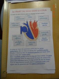 05 Questions sur Fonctionnement du coeur (4)