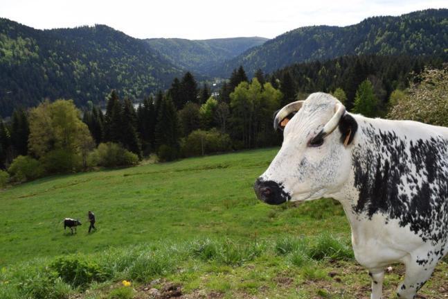 Vache vosgienne chez Gisèle - Copie