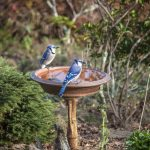 Two Blue Jays Stand On A Birdbath