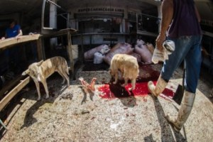 showimage3 Perro lame sangre de animal en mercado [RD]