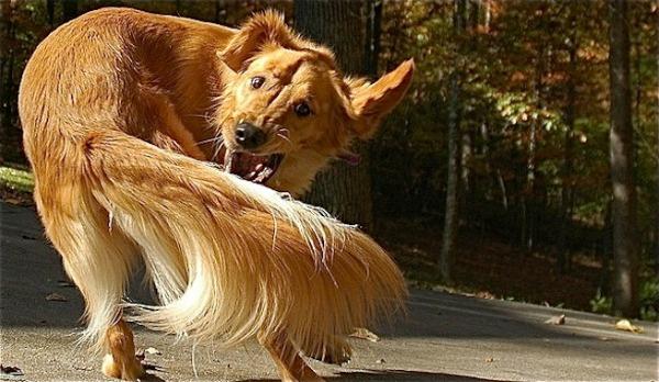 perro2 A según el rabo, la ñangá