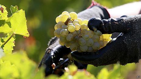 140108155523 grapes 464x261 ramonmartinez Desarrollan lengua electrónica para producir mejor vino [Tecno]