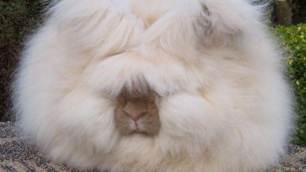 conejo-pelo-gigante_MUJIMA20140221_0007_35