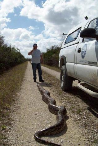 Atrapan pitón de 18 pies en los Everglades, Florida