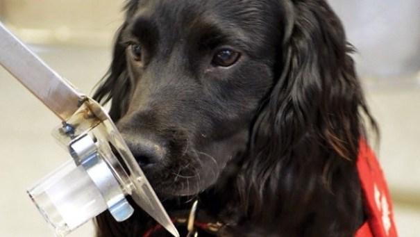 20140716 164041 60041665 Los perros podrían detectar el cáncer de próstata