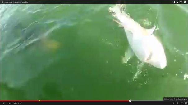 29 Chequeen como Mero gigante le quita un tiburón a pescadores [Video]