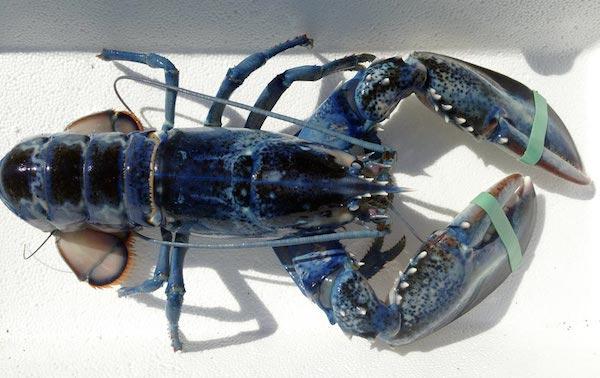 langosta-azul
