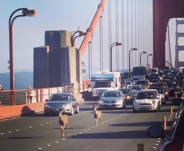 deer Animales paralizan tránsito en puente San Francisco [EE.UU.]