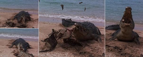 image147 Fotos   Enorme cocodrilo de agua salada destroza concha de tortuga marina
