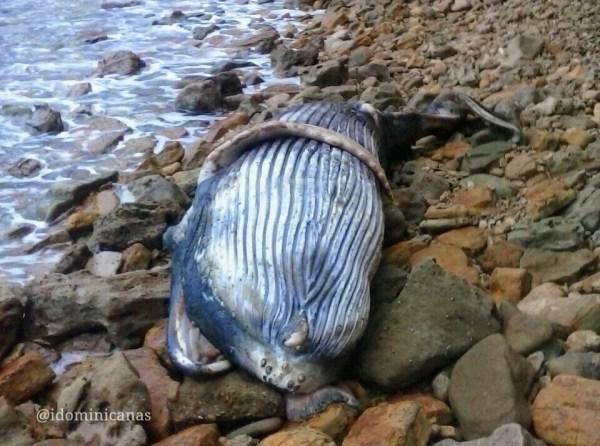 Ballena jorobada muerta en Puerto Plata 1