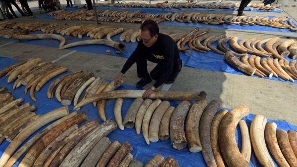 1430128304 1440marfil Confiscan más de 3 toneladas de marfil en Tailandia