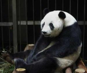 rs_634x531-140828144309-Panda_gigante