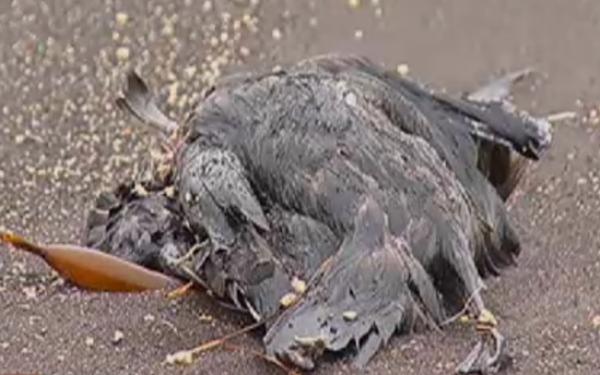 aves muertas-2