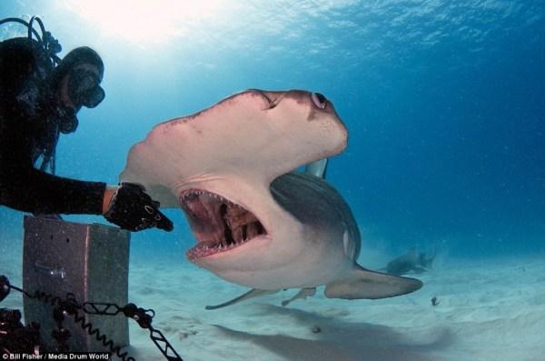 image722 Fotos   El encantador de tiburones