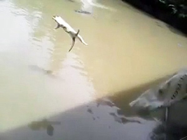 Pet Cat Fed To Crocs In Lagoon