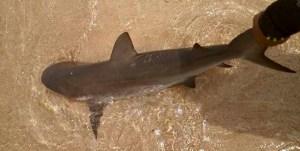 tiburon pal sancocho