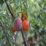 la-mata-que-produce-40-tipos-de-frutas