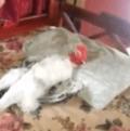 gallo durmiendo
