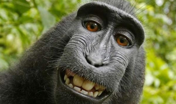 ¡Selfie del mono sigue generando conflictos!