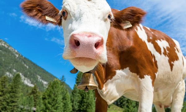 vaca Matan a un hombre dique por comer carne de vaca