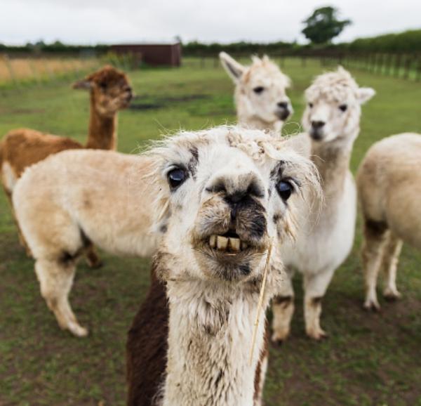 llama animal Piden jartarse con carne de Llama [Bolivia]