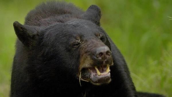 lo desperto un oso mordiendole el caco ee uu Lo despertó un oso mordiéndole el caco [EE.UU.]